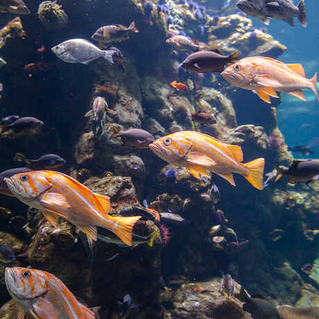 Bright orange fish swim through the California Coast exhibit.