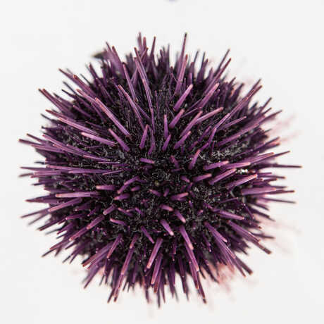 Closeup of a prickly purple sea urchin from the Discovery Tidepool.