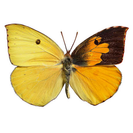 Image of a dogface butterfly