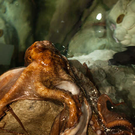 A giant Pacific Octopus emerges onto a rock for feeding.