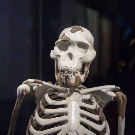 "A reproduction of the famous ""Lucy"" skeleton."