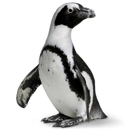 An African Penguin from Tusher African Hall