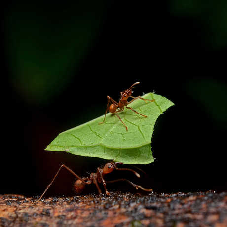 Image of leaf cutter ants.
