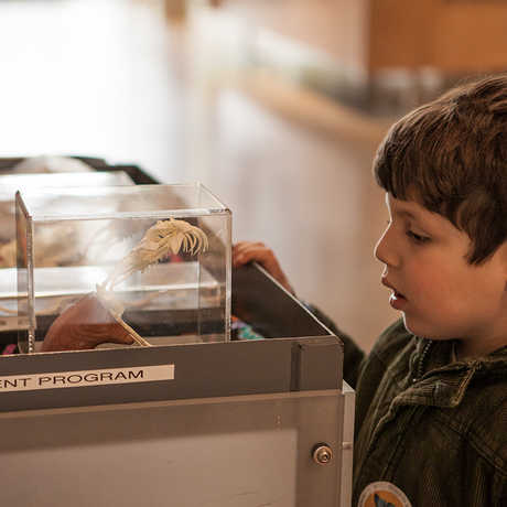 Young boy gazes at a skull at a docent cart.