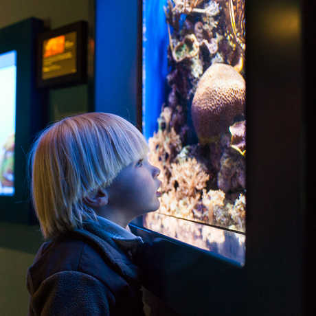 Young boy looks at marine life in the Steinhart Aquarium.