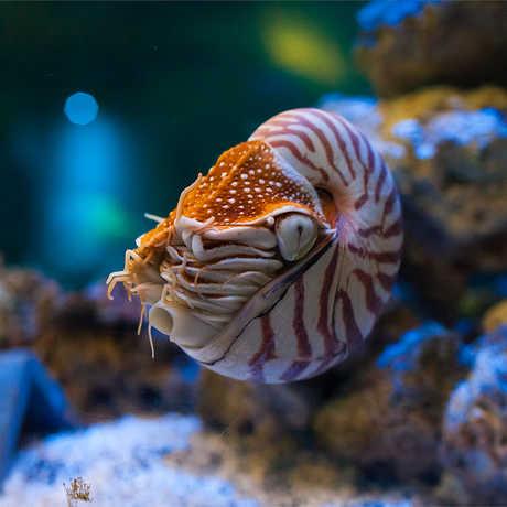 Chambered Nautilus, Nautilus pompilius