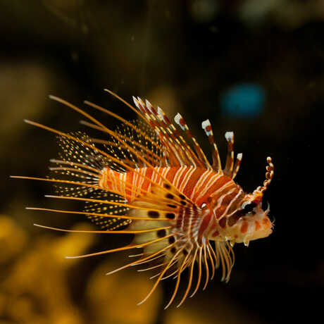 A lion fish with long, venomous spines in the Philippine adaptations exhibit.