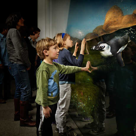 A young boy and an African penguin make eye contact in Tusher African Hall