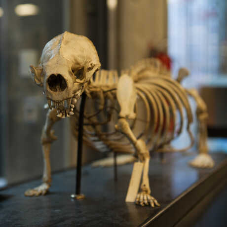 The specimen of a small mammal prepared in the Project Lab sits on display.
