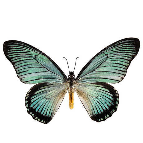 Teal and black butterfly