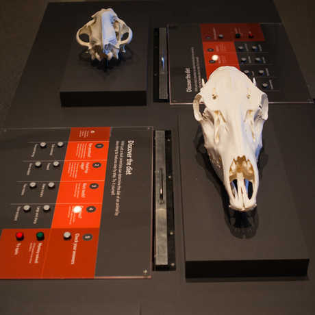 """View of an interactive that helps visitors learn to """"read"""" skulls by comparing features like eye-sockets and jaws."""
