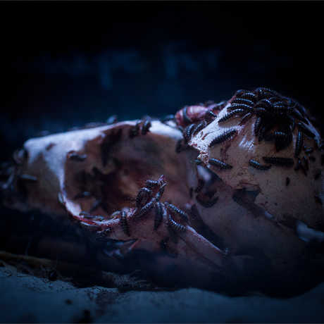 Flesh-eating dermestid beetles crawl over a sea otter skull, cleaning it of flesh.