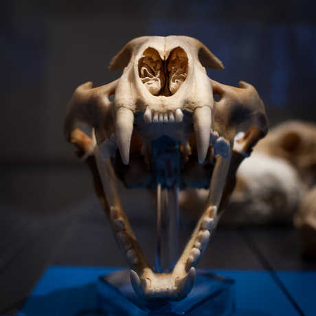 Head-on view of a Siberian tiger skull, jaws open.
