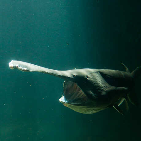 An American paddlefish hunts for food with his ribbed mouth wide open.