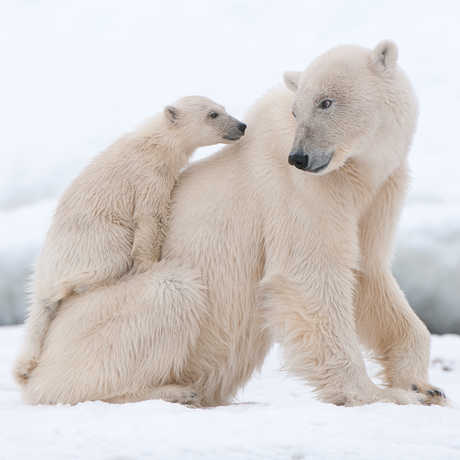 A polar bear mother with her cub on her back