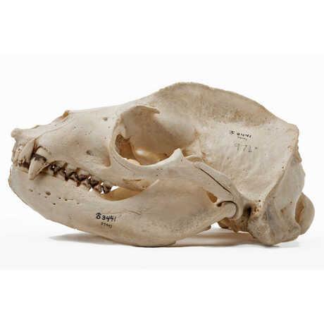 Sea lion skull against white background