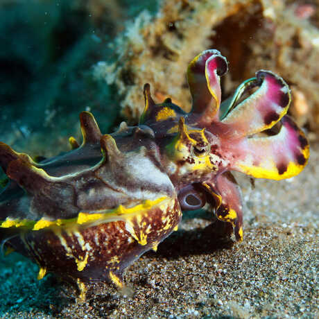 Flamboyant cuttlefish displays its magenta and yellow arms on the seafloor