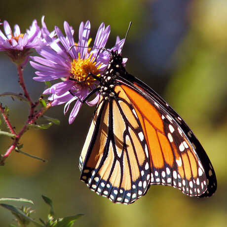 Monarch butterfly photo courtesy of Wikimedia Commons