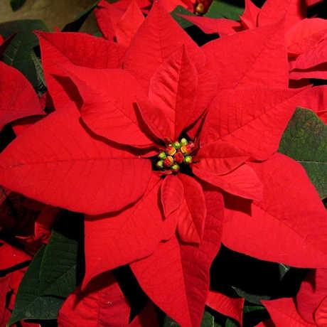 Poinsettia photo; Holiday Bazaar NightLife