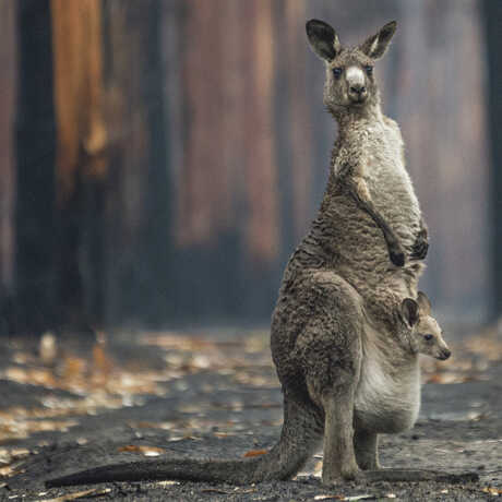 """Grand Prize winning image """"Hope in a Burned Plantation"""" by Jo-Anne McArthur shows a kangaroo in a burned eucalyptus plantation"""