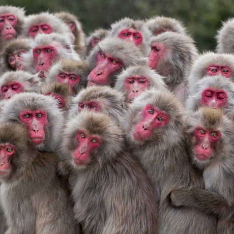 A red-faced group of Japanese macaques by Alexandre Bonnefoy