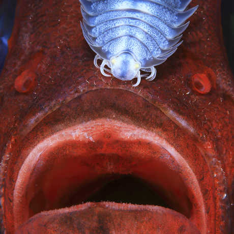 Red fish looks shocked with a parasitic copepod attached to its head