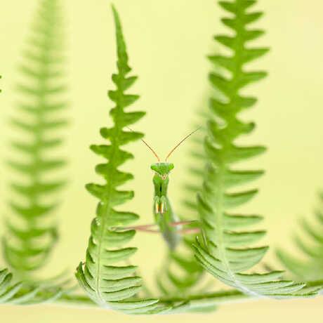 Close-up shot of green praying mantis on a fern frond. Photo © Ruben Perez Novo