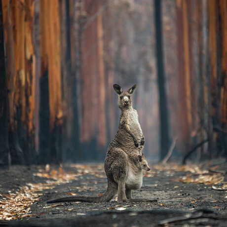 Kangaroo and joey in a burned eucalyptus plantation. Photo by Jo-Anne McArthur