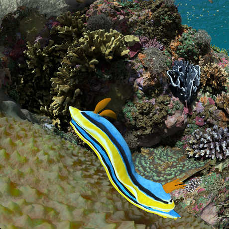 A blue and yellow striped Chromodoris nudibranch creeps along some coral in this Expedition Reef still