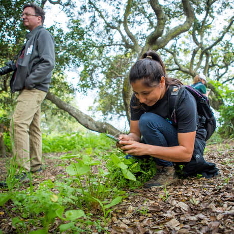 A citizen scientist identifies a plant using the iNaturalist app