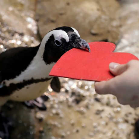 African penguin receiving a red felt valentine from an Academy biologist