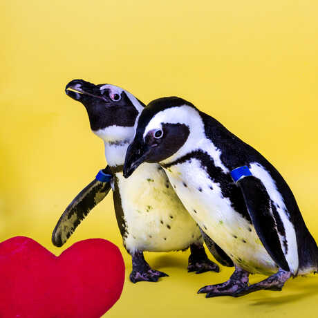 2 African penguins look at a red felt heart against a bright yellow background