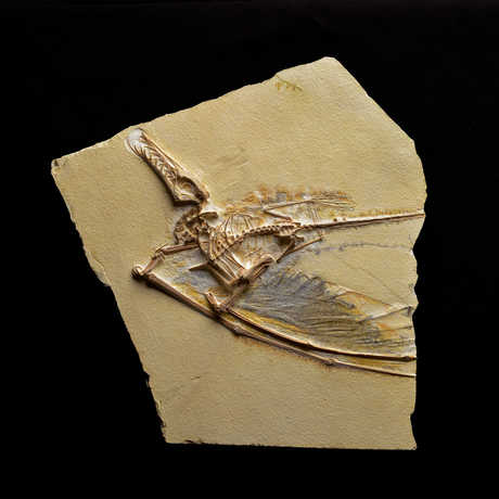 Dark Wing Fossil Cast photo © AMNH/D. Finnin