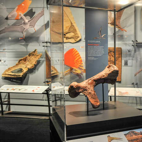 Crest Gallery and Quetzalcoatlus humerus cast © AMNH/C. Chesek​