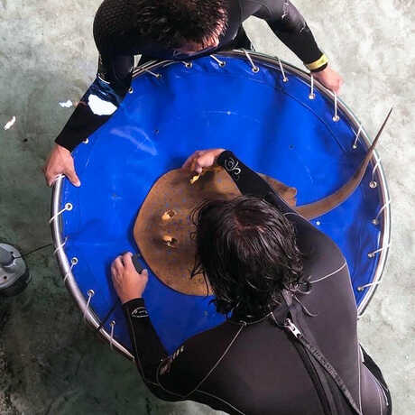 A ribbontail ray on a stretcher being returned to Reef Lagoon after physical exam