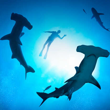 Underwater photo from below of swimmer with hammerhead sharks and sun-dappled water