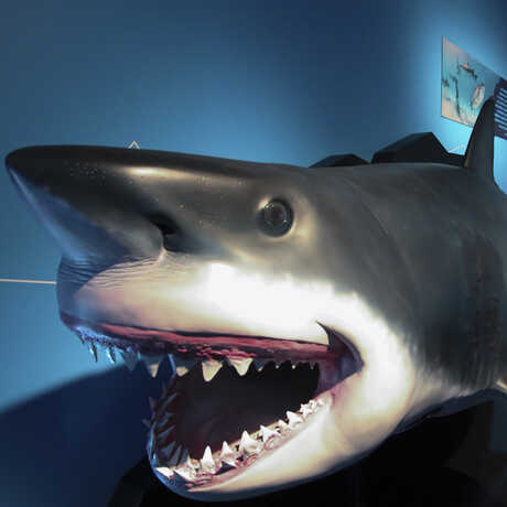 Life-size cast of an open-mouthed great white shark