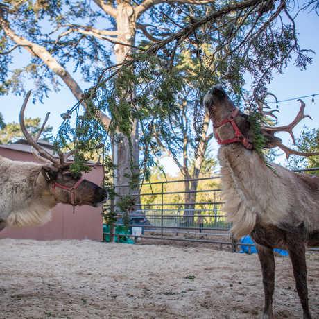 Two reindeer graze in the East Garden