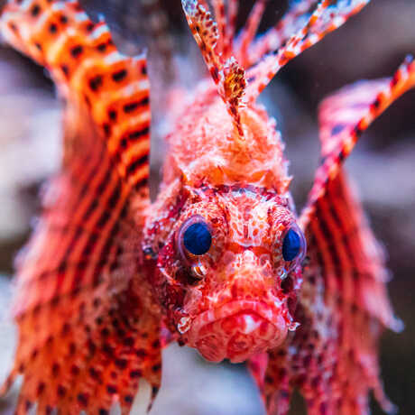 A red striped Dwarf lionfish stares menacingly at the camera