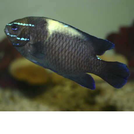 Bluestreak damselfish