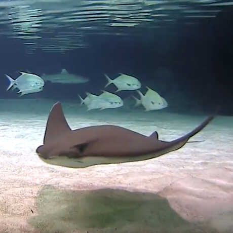 A ray and schooling fish swim gracefully for the camera