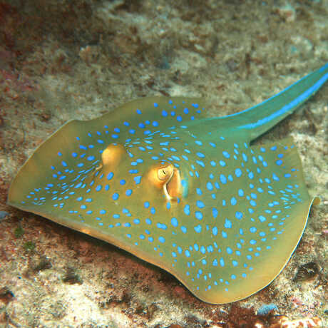 Blue-spotted ribbontail ray, or Taeniura lymma