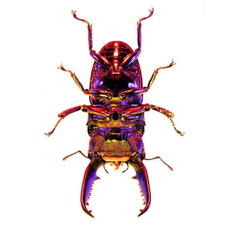 The underside of an iridescent stag beetle against a white background