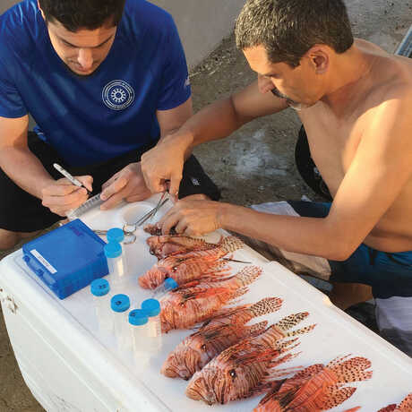 Academy Icthyologist Luiz Rocha doing a stomach analysis of lionfish