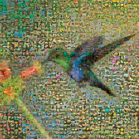 Hummingbird mosaic of iNaturalist images