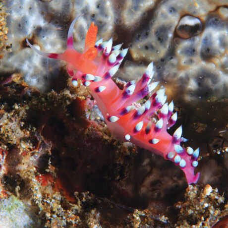 A colorful pink nudibranch decorates a coral reef