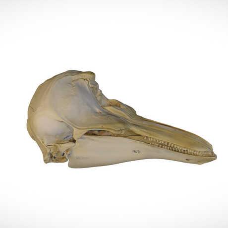 3D rendering of the skull of a harbor porpoise