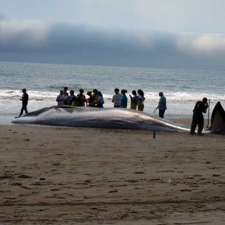 A crowd gathers around a stranded fin whale at Stinson Beach in 2013. Photo by Diana Humple