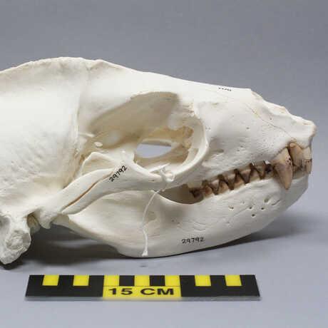 Sea lion skull