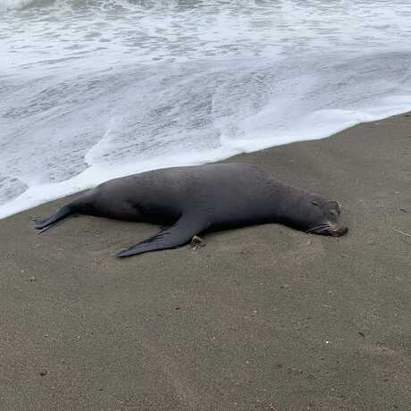 A dead California sea lion washed up on a beach